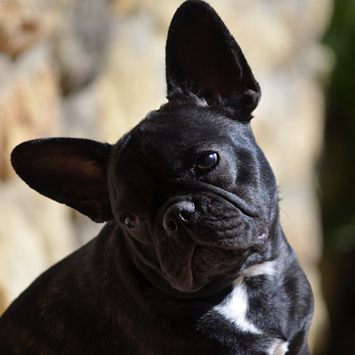 cria eventual bulldog francés